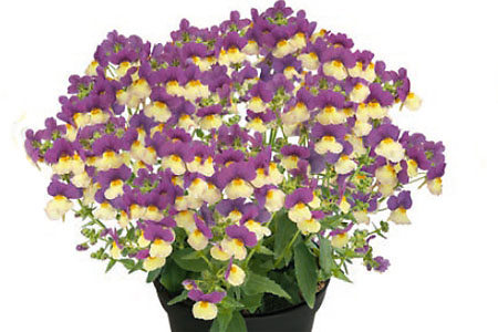 Nemesia Fairy Kisses Vanilla Berry