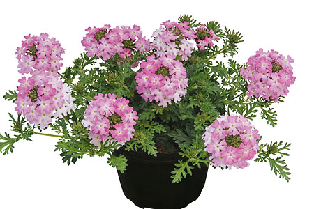 Verbena Vepita Frosted Pink