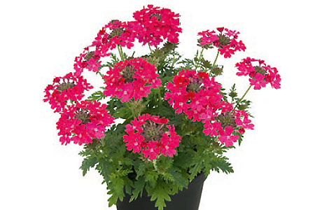 Verbena Vepita Up Hot Pink