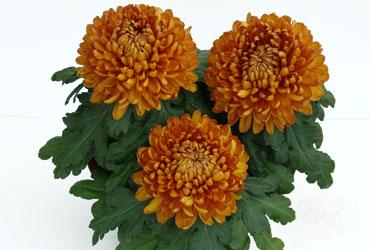 chrysanthemen neuheiten von kientzler jungpflanzen. Black Bedroom Furniture Sets. Home Design Ideas