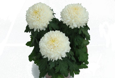 Chrysanthemen weiß
