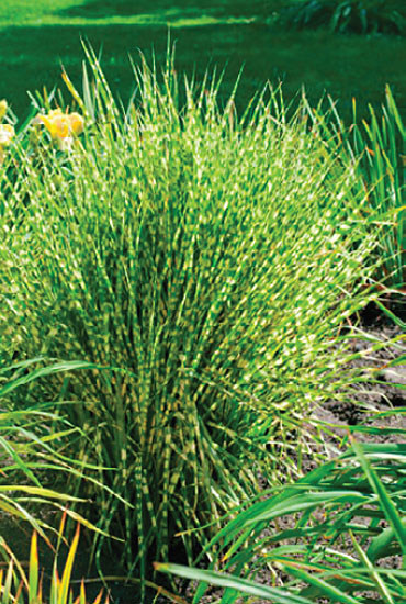 Grosse Gräser herbstzauber neuheiten kientzler jungpflanzen
