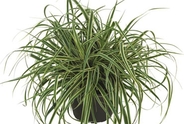 Carex Evercream young plants