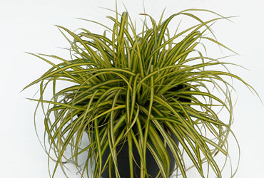 Carex 'Eversheen' young plants