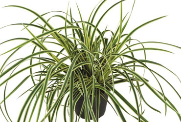 Carex Vanilla Ice young plants