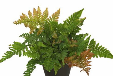 Dryopteris Wurmfarn young plants