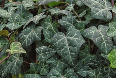 Hedera 'Modern Times' young plants