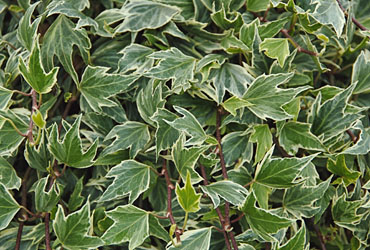 Hedera 'White Ripple' young plants