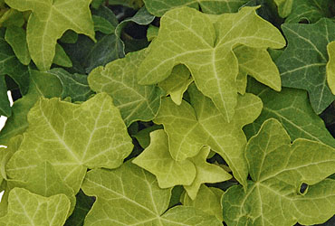 Hedera 'Yellow Ripple Mutation' young plants