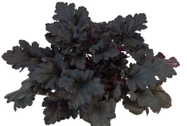 Heuchera Black Pearl young plants