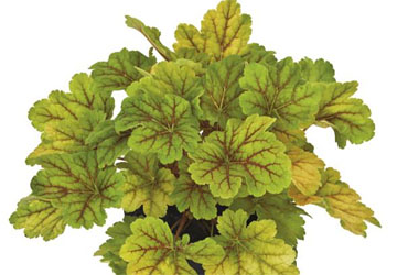 Heuchera Electra young plants