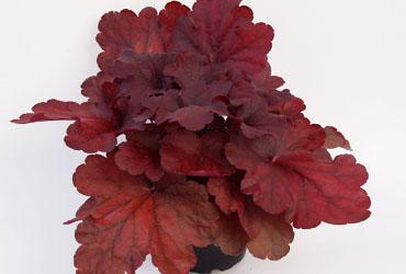 Herbstzauber Neuheiten Von Kientzler Jungpflanzen