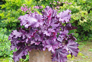 Heuchera 'Forever Purple' young plants