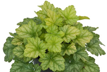 Heuchera Lord Lime young plants