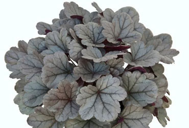 Heuchera Silver Gumdrop young plants