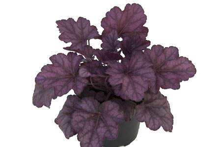 Heuchera 'Wild Rose'