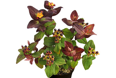 Hypericum 'Magic Marbles Brandy' young plants