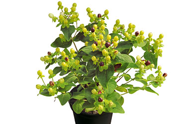 Hypericum 'Magic Marbles Green' young plants