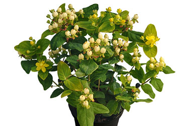 Hypericum 'Magic Marbles Ivory' young plants