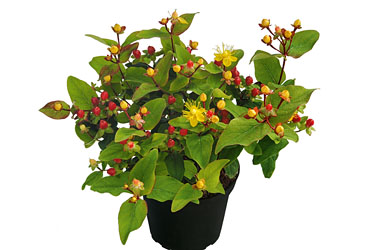 Hypericum 'Magic Marbles Little Red' young plants