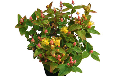 Hypericum 'Magic Marbles Pink' young plants
