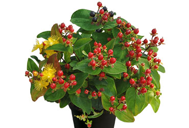 Hypericum 'Magic Marbles Red' young plants