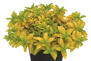 Veronica Aztec Gold young plants