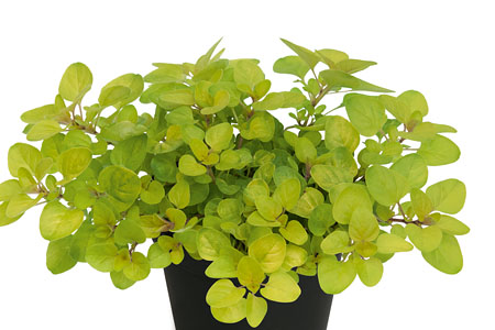 Origanum Gold Oregano