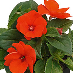 Sunpatiens compact Electric Orange