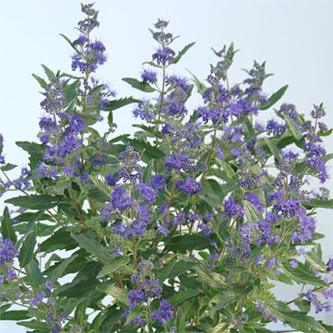 Caryopteris Blue Cloud