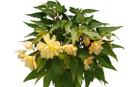 Begonia Belleconia Cream