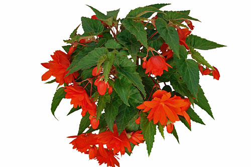 Begonia BELLECONIA Hot Orange