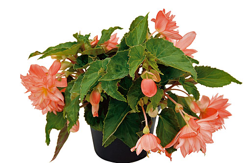 Begonia BELLECONIA Soft Orange