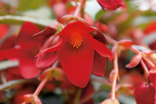 Begonia SUMMERWINGS Deep Red