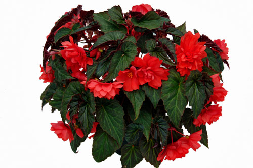 Begonia SUMMERWINGS Double Red