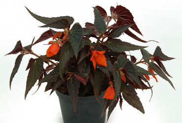Begonia SUMMERWINGS Ebony & Orange
