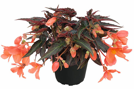 Begonia SUMMERWINGS Orange Elegance