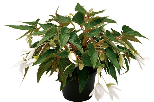 Begonia SUMMERWINGS White