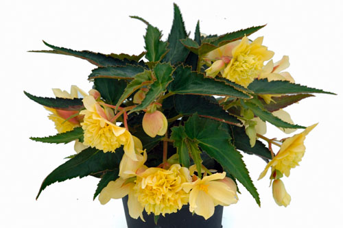 Begonia BELLECONIA Citrus