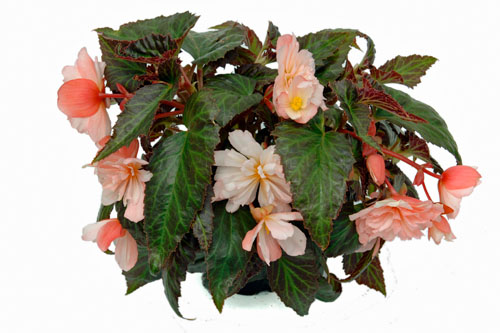 Begonia BELLECONIA Light Pink
