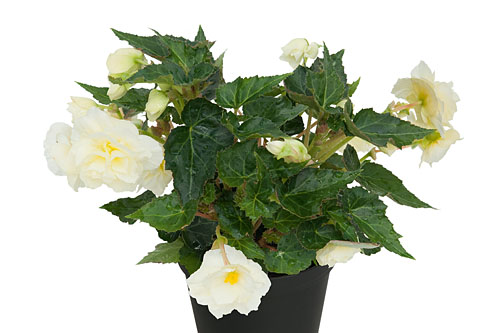 Begonia EASY GOING White