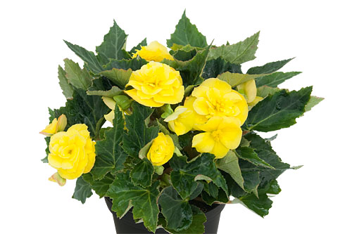 Begonia EASY GOING Yellow