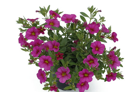 Calibrachoa POCKET Dark Pink