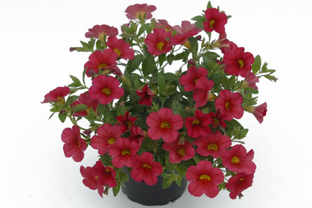 Calibrachoa POCKET Light Red