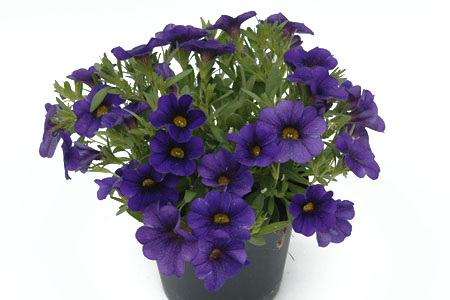 Calibrachoa POCKET Lilac
