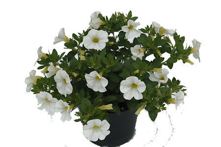 Calibrachoa POCKET White