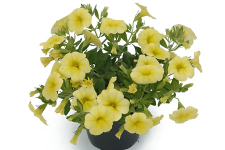 Calibrachoa POCKET Yellow