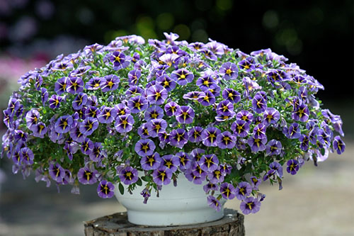 Calibrachoa SUPERBELLS Evening Star