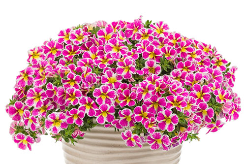 Calibrachoa SUPERBELLS Holy Cow