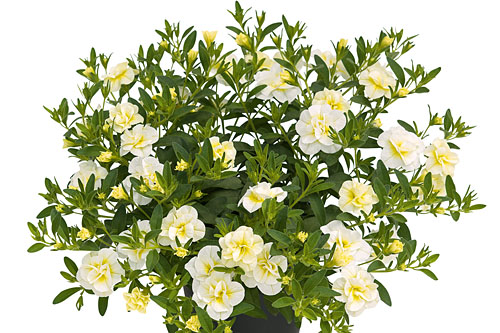 Calibrachoa SUPERBELLS Double Cream